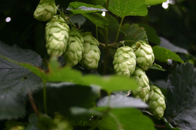 Hops- ornamental and useful for brewing too!