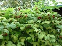 Raspberry plants with fruit