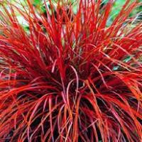 A-Z of Perennials: U is for Uncinia