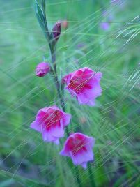 Watsonia with grass