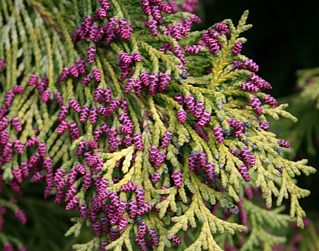 Conifers can be pretty! Flowers like these help to relieve otherwise ratehr monotonous foliage. Picture by Anne Burgess