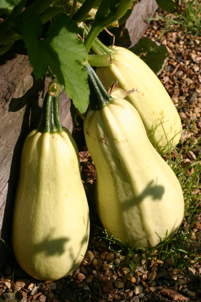 Greek Squashes grown last year- a 'heritage' variety, more of which I plan to grow this year