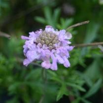 Call of the mild- Scaboius still flowering ..