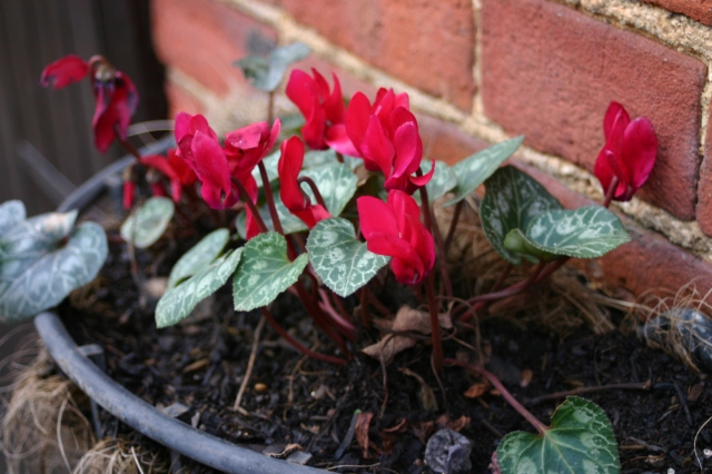 Cyclamen still looking good in the courtyard