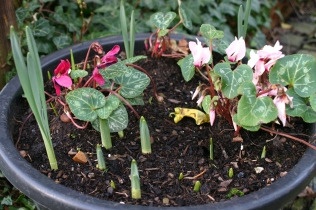 Bulbs starting to emerge alongside Cyclamen persicum