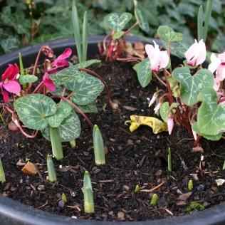 Bulbs starting to emerge alongside Cyclamen persicum