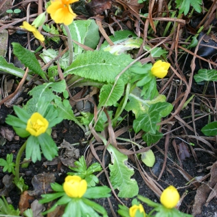 signs of Spring- wintyer Aconites and Primrose...