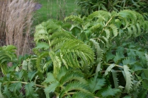 Melianthus still putting on new leaves...
