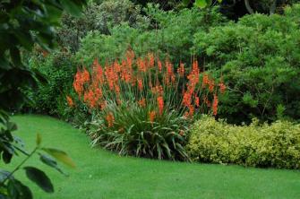 Watsonia 'Lakemount'