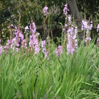 A-Z of Perennials: W is for Watsonia