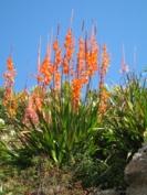 Watsonia Tresco hybrid