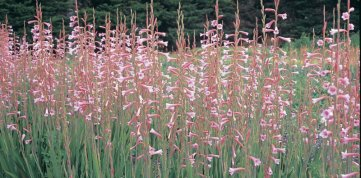 Watsonia 'Wedding Bells'
