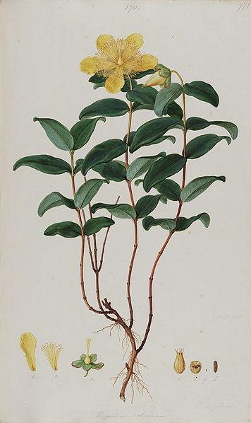 A 'sub shrub'- Hypericum calycinum