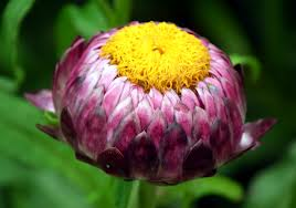 close up of Xerochrysum bracteatum