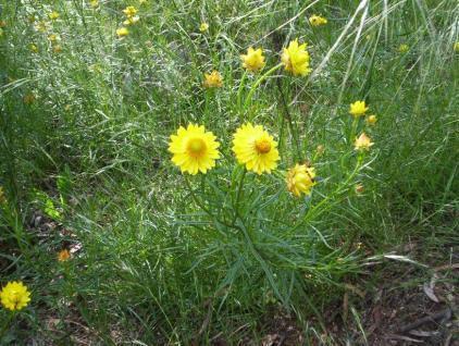 Golden_everlasting_flower_Bracteantha_bracteata_