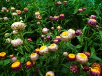 Helichrysum_bracteatum_or_Xerochrysum_bracteatum_from_Lalbagh_Flower_Show_August_2012_4590