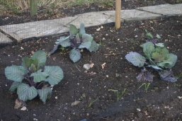 Red cabbages sown last autumn and over wintered to give an early crop this year