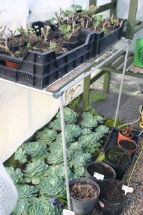 Overwintering Echeveria, Geraniums and Dahlia tubers in the greenhouse- I don't think the heater has been on much to date.. s