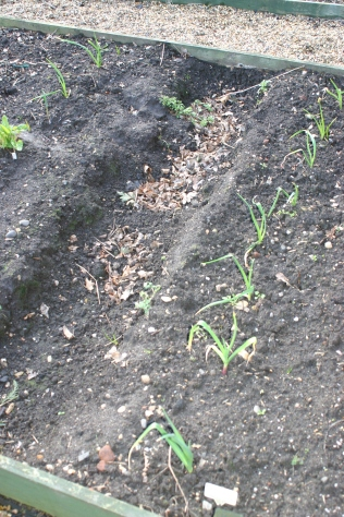 asparagus trench- no signs of growth...yet
