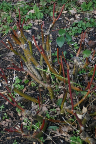 Dog woods pruned to encourage new colourful stems for next winter