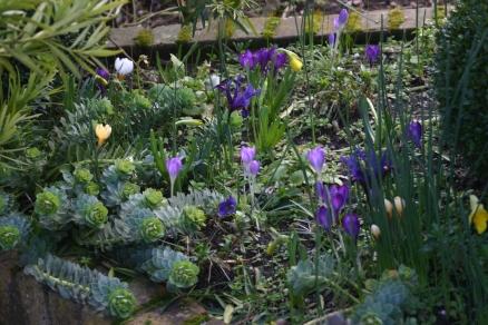 sprign show of crocus, miniature narcissus and Euphorbia myrsinites