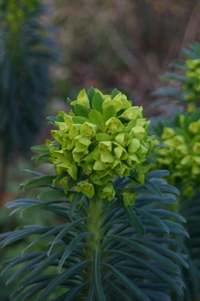 An early show from Euphorbia characias in Old School Garden