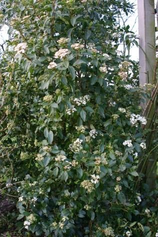 Flowers lon the Vinurnum tinus 'Eve Price'