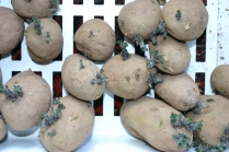 Early potatoes chitting away nicely