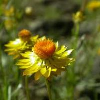 A-Z of Perennials: X is for Xerochrysum