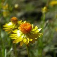 A-Z of Perennials: X is for Xerochrysum