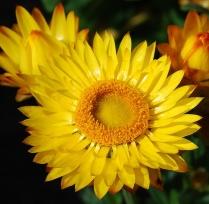 Xerochrysum bicolour 'Tasmania'