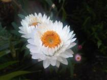 Xerochrysum_bracteatum_Kew_34