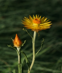 Xerochrysum subundulatum