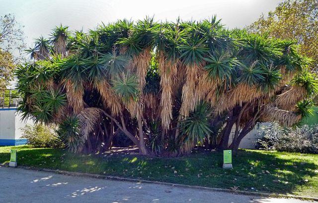 Yucca guatemalensis (syn Yucca elephantipes)
