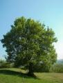 Acer campestre form