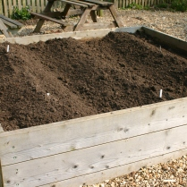 Potatoes planted in the main School Garden at Cawston