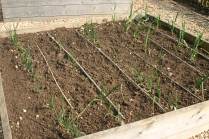 Onions and Garlic coming on and weed-free!