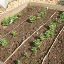Broad beans starting to bush up nicely