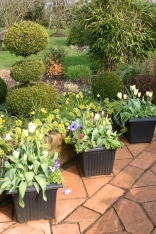 Pots of early Tulips, Anenomess, Bellis, backed by dwarf Narcissus and Euphorbia myrsinites