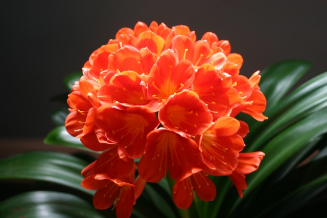 A beauty from inside the house- Clivia