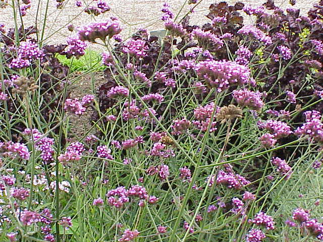 The airy stems of Verbena bonariensis