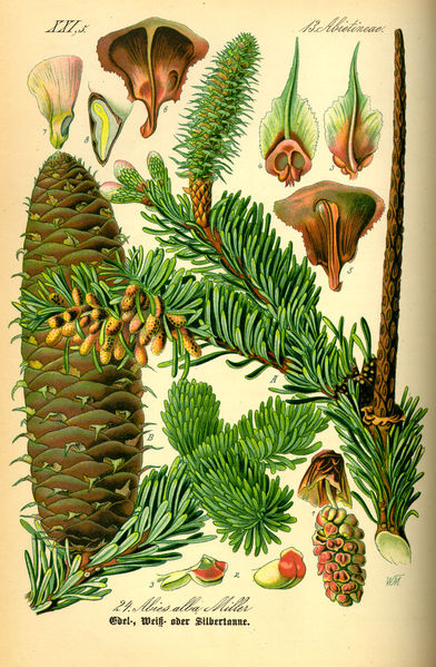 Chracterisitcs of the White Fir