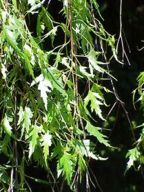 Betula pendula 'Laciniata' leaves
