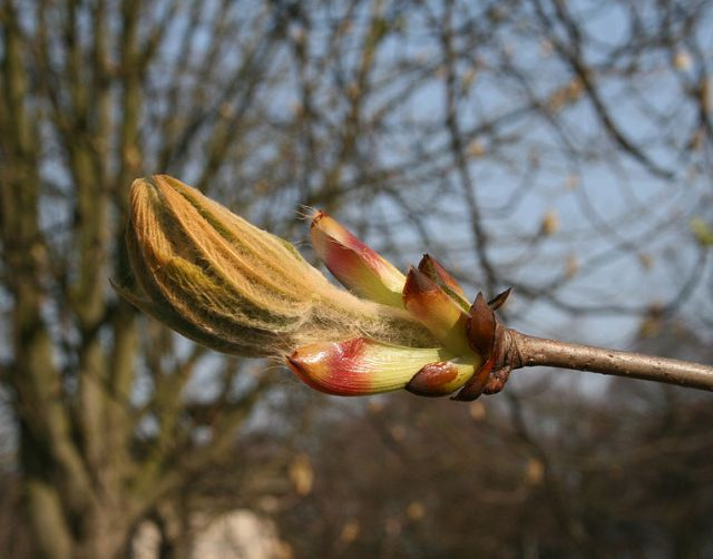 Horse Chestnut flower about to burst