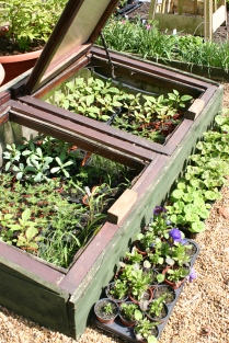 Cold frame full to overflowing