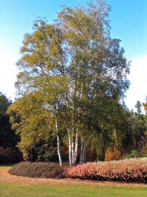 mature betula pendula bartram trees