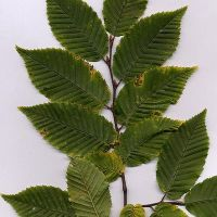 A -Z of Garden Trees: C is for Carpinus betulus