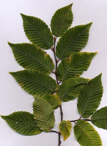 Carpinus betulus foliage...