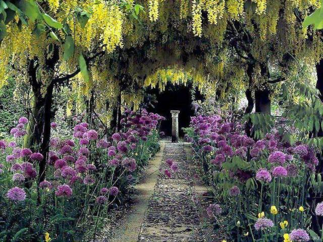 alliums and laburnum