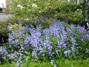 Bluebells in front garden